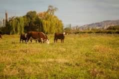 producción bovina